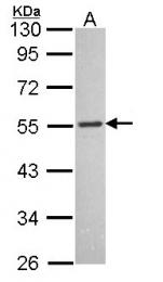 GTX108185 - MCHR1 / GPR24