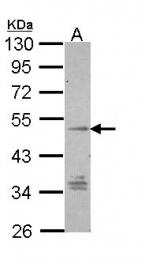 GTX108191 - GPR137B / TM7SF1