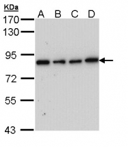 GTX108202 - FSH Receptor