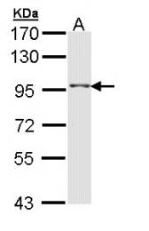 GTX108238 - TAS1R1 / GPR70