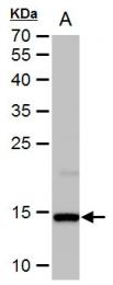 GTX108272 - Histone H2A.x