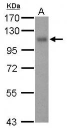 GTX108277 - CD141 / THBD
