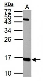 GTX108297 - Histone H2A.x