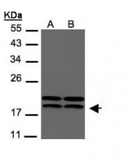 GTX108325 - NDP kinase A