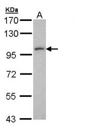 GTX108352 - LUZP1
