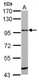 GTX108375 - ST14 / Matriptase