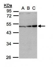 GTX108405 - Inhibin beta A chain (INHBA)
