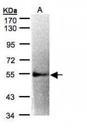 GTX108495 - CD122 / IL2RB
