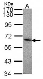 GTX108539 - CD329 / SIGLEC8