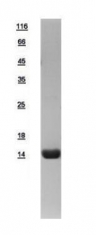 GTX108585-pro - Cytochrome c