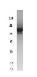 GTX108624-pro - Cyclin D1