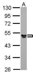 GTX108640 - Fibrinogen gamma chain