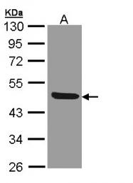 GTX108702 - CD121b / IL1R2