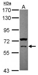 GTX108728 - ROR-gamma / RORC