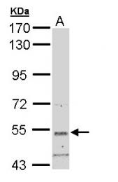 GTX108987 - Syntrophin-3 / SNTB2