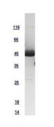 GTX108988-pro - CD191 / CCR1