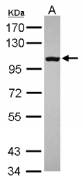 GTX109057 - CD180 / RP105