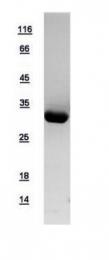 GTX109090-pro - 14-3-3 protein epsilon