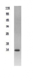 GTX109097-pro - DNAJC19 / TIM14