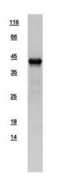 GTX109121-pro - Glutamine synthetase