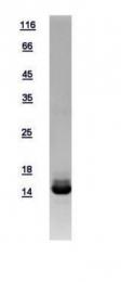 GTX109135-pro - Galectin-2