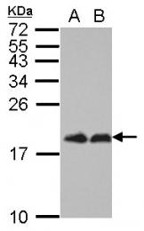 GTX109162 - EIF4EBP1 / 4E-BP1