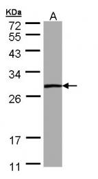 GTX109163 - Phosphoserine phosphatase