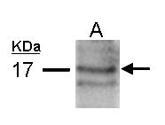 GTX109255 - Atrial Natriuretic Factor (ANF)