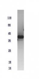 GTX109255-pro - Atrial Natriuretic Factor (ANF)