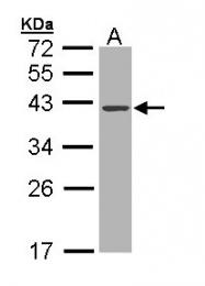 GTX109306 - Deoxyribonuclease-1