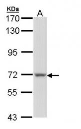 GTX109369 - Protein S / PROS1