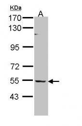 GTX109453 - BAIAP2L1