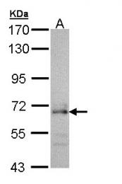 GTX109454 - CDC45L