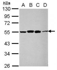 GTX109494 - RUVBL1 / TIP49A