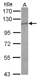 GTX109503 - CD114 / CSF3R