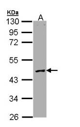 GTX109504 - Protein C / PROC