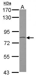 GTX109527 - GPR128