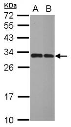 GTX109616 - Inositol monophosphatase / IMPA1