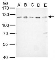 GTX109624 - CD333 / FGFR3