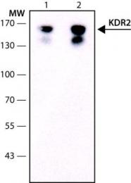 GTX10975 - CD309 / VEGFR-2 / Flk-1