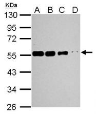GTX109832 - alpha Tubulin / TUBA1A / TUBA3