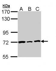 GTX109894 - Lamin-B2 (LMNB2)