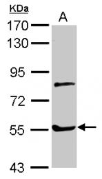 GTX109905 - Myotilin