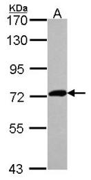 GTX109995 - XPNPEP2
