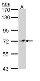 GTX110123 - Vang-like protein 1 (VANGL1)