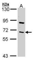 GTX110152 - TRAF3 / CRAF1
