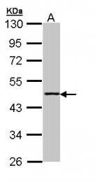 GTX110348 - Aminoacylase-1 / ACY1