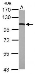 GTX110379 - Dynamin-1