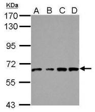 GTX110467 - VPS33B