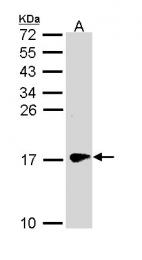 GTX110483 - Gamma-Synuclein / SNCG
